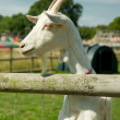 Livestock goat — Stock Photo