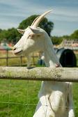 животноводство козы — Стоковое фото