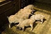 Piglets — Stock Photo
