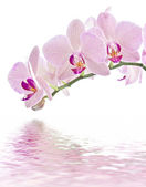 Phalaenopsis — Photo