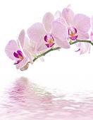 Phalaenopsis — Foto de Stock