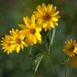 Jerusalem artichoke. Helianthus tuberosus L. — Stock Photo #6936412