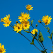 Jerusalem artichoke. Helianthus tuberosus L. — Stock Photo