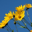 Jerusalem artichoke. Helianthus tuberosus L. — Stock Photo #6936420