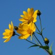 Jerusalem artichoke. Helianthus tuberosus L. — Stock Photo #6936431