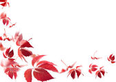 Red autumn leaves on white background — ストック写真