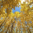 Upward view of Fall Aspen Trees — Stock Photo