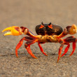 Stock Photo: Crab running across road