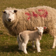 Stock Photo: Sheep and her lamb, standing