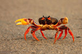 Crab running across road — Stock Photo