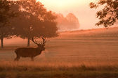Stag deer at sunrise — Stock Photo