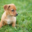 Dachshund puppy in grass — Stock Photo