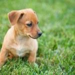 Dachshund puppy in grass — Stock Photo #6857928