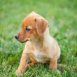 Dachshund puppy in grass - Stock Photo