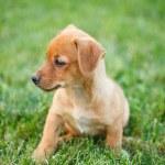 Dachshund puppy in grass — Stock Photo #6857936