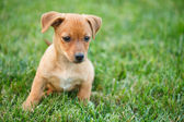 Dachshund puppy in grass — Stockfoto
