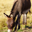 Donkey grazing - Stock Photo