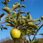 Yellow ripe apple — Stock Photo