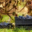 Harvested grapes in cases — Stock Photo