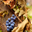Blue grapes on a vine, closeup - Stock Photo