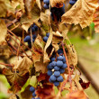 Blue grapes on a vine, closeup — Stock Photo