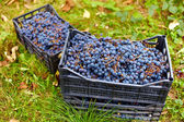 Harvested grapes in cases — Stockfoto