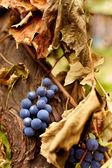 Blue grapes on a vine, closeup — Stock Photo