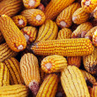 Pile of corn — Stock Photo #7721225