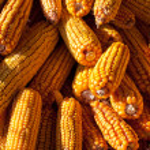 Pile of corn — Stock Photo #7721226