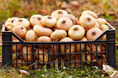 Onions in a crate on the grass — Stock Photo