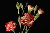 Carnation flower bouquet close up — Stock Photo