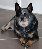 Blue Heeler — Stock Photo