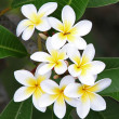 Frangipani — Stock Photo #7871211