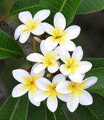 Fleur de frangipanier — Photo