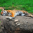 Sleeping tiger — Stock Photo