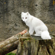 Stock Photo: White arctic fox