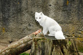 White arctic fox — Stock Photo