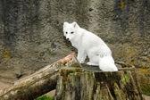 White arctic fox — Stock Photo