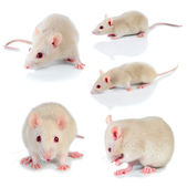 White mouse — Stock Photo