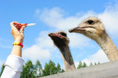 Turistik bir devekuşu besleme — Stok fotoğraf
