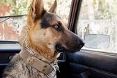 Dog farmer in the car — Stock Photo
