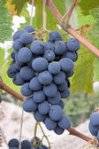 A bunch of black grapes on the plantation — Stock Photo