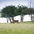 Red deer — Foto de Stock