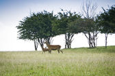 Red deer — Stock Photo