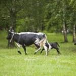 Black cows — Stock Photo