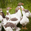 Domestic Ducks - Stock Photo