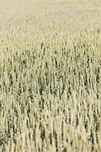 Zaad veld — Stockfoto