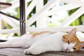 Kočka domácí — Stock fotografie
