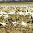 Canadian and snow geese in cut corn field — Stock Photo