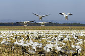 Snow geese landing — Stock Photo
